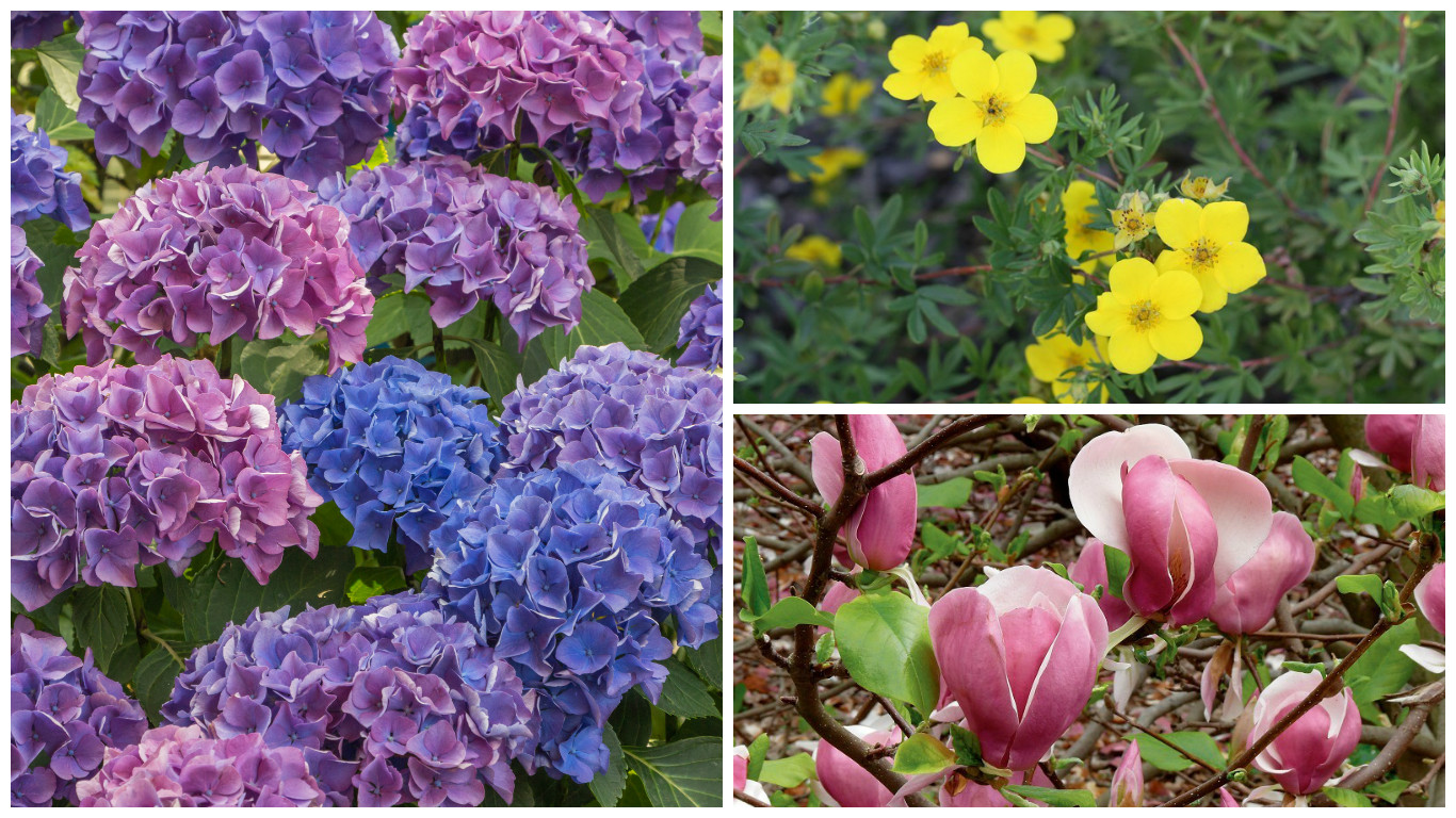 Krzewy kwitnące do ogrodu: hortensja, pięciornik krzewiasty, magnolia (fot. thinkstockphotos.com; Maria Muszalska, Piotr Gorączko)