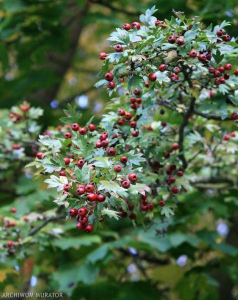 Żywopłot. Rośliny na kłujący żywopłot - głóg jednoszyjkowy