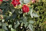 WIDEO: Ogród różany - 20 filmów o 20 gatunkach róż w ogrodzie Moniki z Kielc