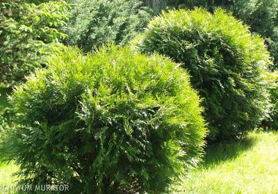 Tuje w ogrodzie: uprawa, sadzenie, cięcie. Żywotniki - przegląd popularnych odmian