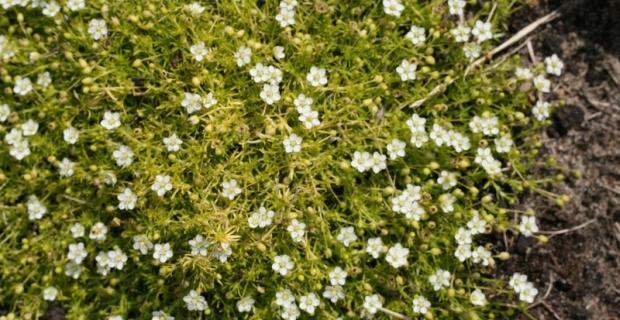 Karmnik ościsty zamiast trawy