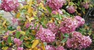 Hortensja bukietowa - roślina ze Wschodu w twoim ogrodzie